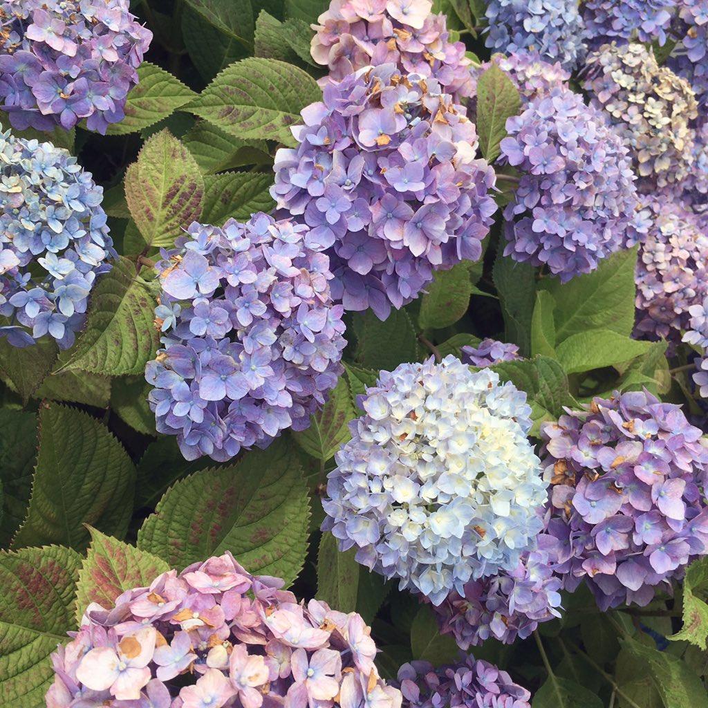 璃波さんの写真とつぶやき:今日はしぶりんでした🌟紫陽花がとても綺麗でした😌🙏 https://t.co/eda6FWfScY