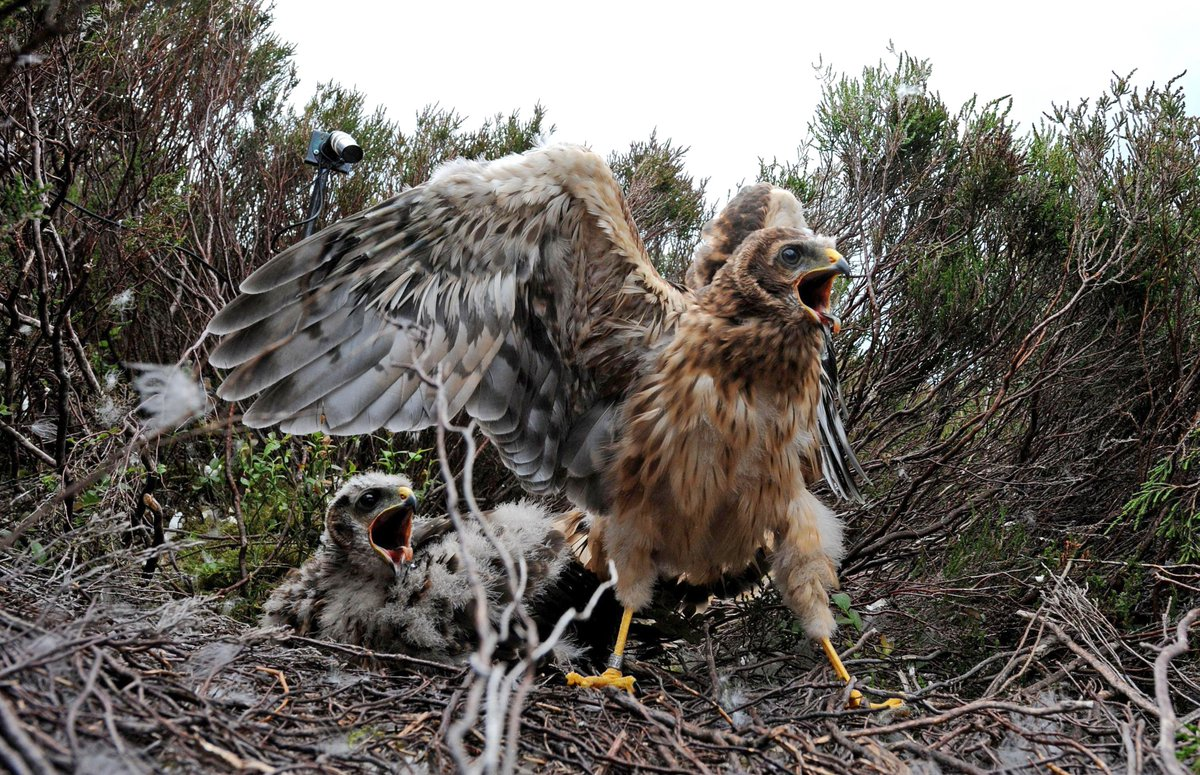 Outrage as traps that crush birds' legs set on North Yorkshire grouse moor https://t.co/Jhu3zOvdLE https://t.co/o29lyPUfrW