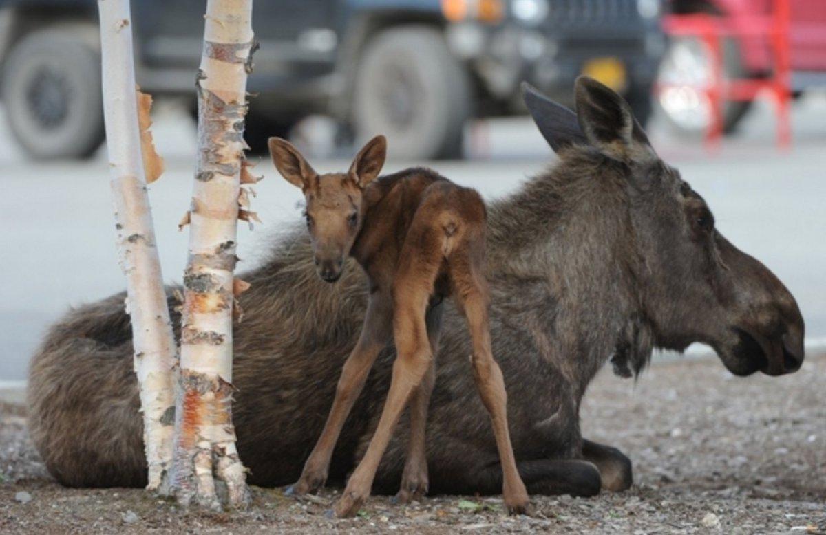 Moose calf born in parking lot at Tikahtnu Commons shopping center. Video and photos https://t.co/tX5eN33d8x https://t.co/rZkdake0e6