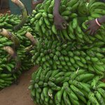 Low Banana Prices Affecting Kabarole Farmers' Morale