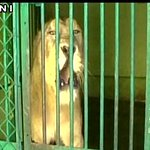 Amreli (Gujarat) (23/05/16): 13 lions trapped & caged after cases of attacks on humans were on a rise. https://t.co/vffLc5BDhc