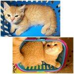 Kucing yang sama, bakul yang sama, cuma waktu yang berbeza. Dia dah besar! 😭😻 https://t.co/bUuuuMlStc