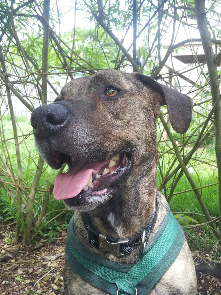 We need a foster home for Ziggy, no other dogs, can you help? If so contact sueforder@bcdh.org.uk 01225 787332 https://t.co/l40BhabxWU