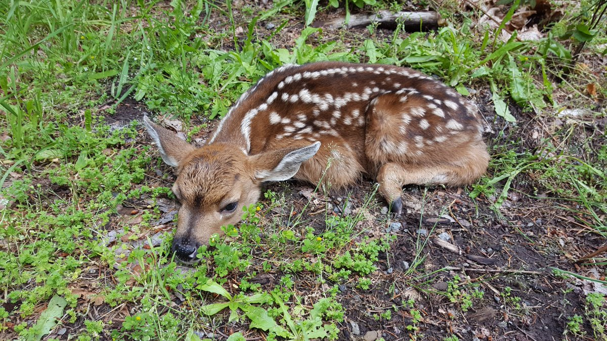 1st fawn of spring @OxbowPark. Staff found it laying in a grassy parking spot near ancient forest. Drive with care. https://t.co/Phxdz4ES0Q