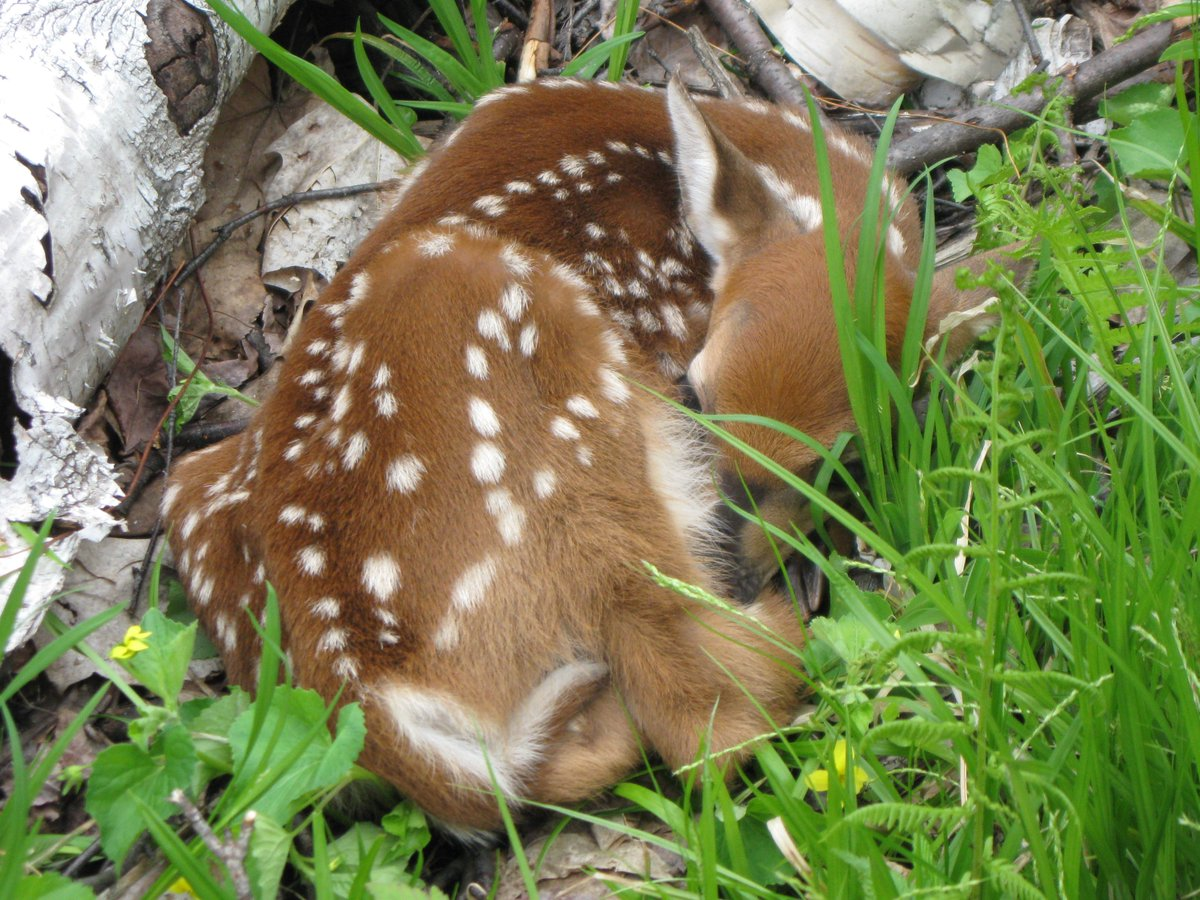 A gentle reminder to leave baby fawns alone. They are wild & even if they look abandoned, they are probably not. https://t.co/TVzIVqaGGO