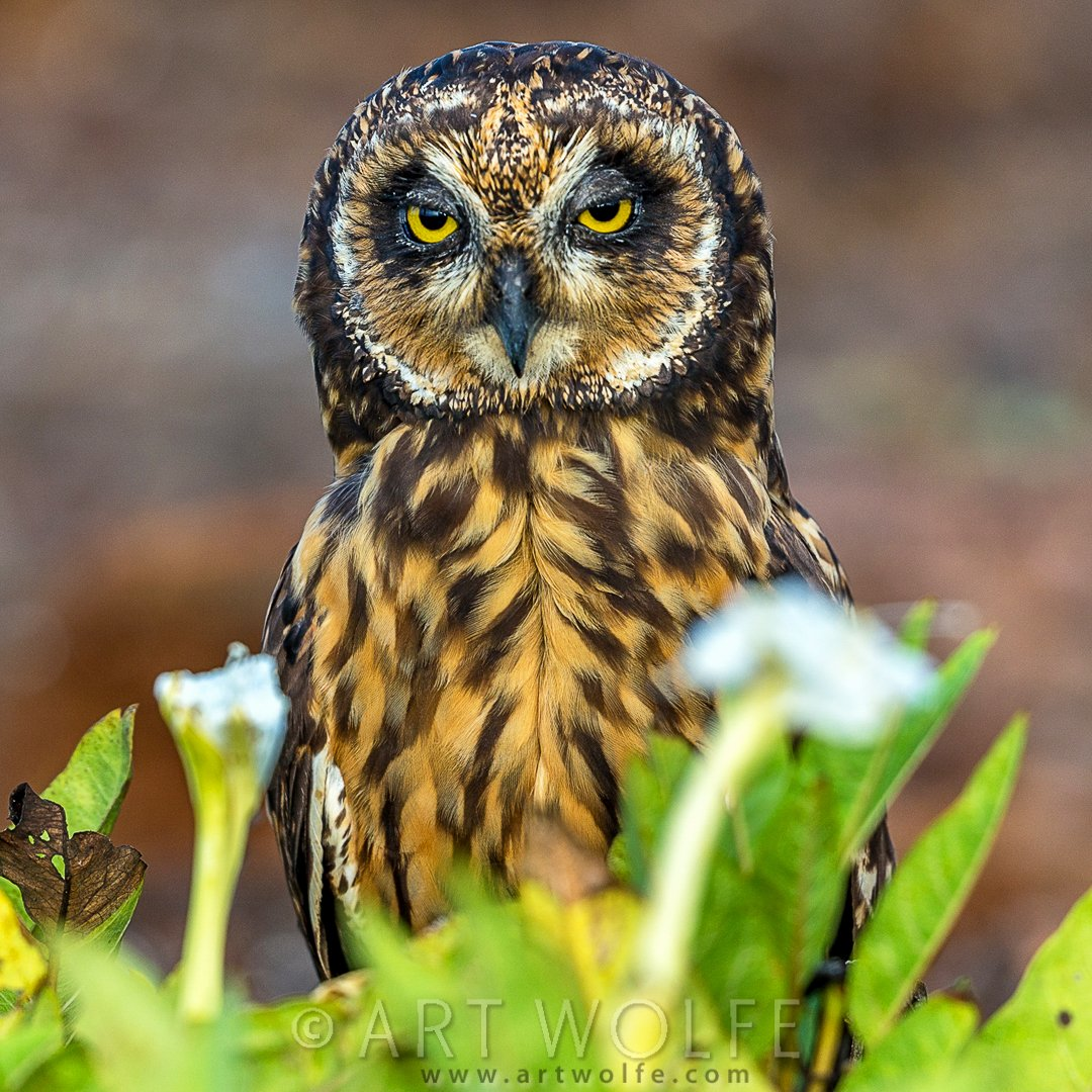 #Galapagos short-eared #Owl ! I have an affinity for owls, but this one is unimpressed with having it's photo taken. https://t.co/bsXOXoMX7v