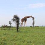 Ugandas beauty #MurchisonFalls @UgandaMediaCent @Jadwong @skaheru https://t.co/pquNCFXU4V