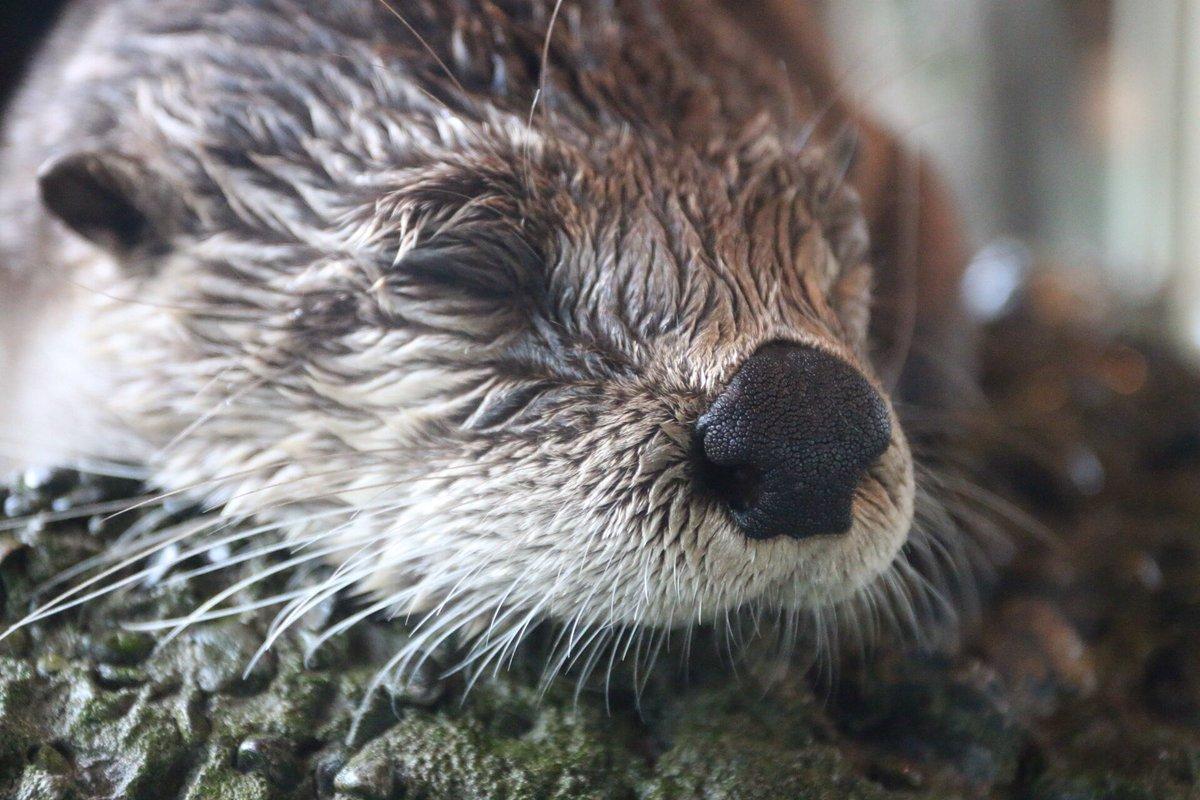 #WorldOtterDay (at @SeattleAquarium) https://t.co/05sfzY3aBu