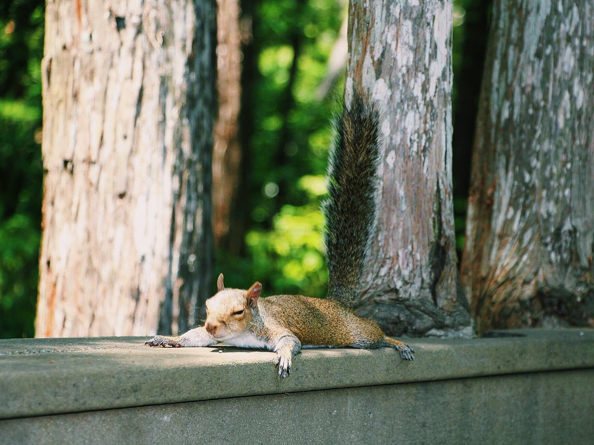 #101thingstodoattheunion Watch the famous UCF squirrels take an afternoon nap
