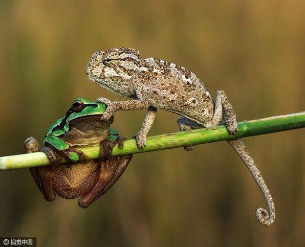 表情到位 RT @dearemon: 转:土耳其业余摄影师Sener博士在一次大学考察时拍到了这样一组照片:一只叫声吵人的青蛙惹一只变色龙烦心,变色龙顺着树枝爬过去直接堵住了青蛙的嘴。(图:视觉中国) https://t.co/RFxDTwddva
