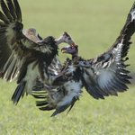 #BoiseState Photo of the Week – May 25 Two vultures collide in the air above Gorongosa Na… https://t.co/MeX0dDQc2B https://t.co/Lh6XaaUxFR