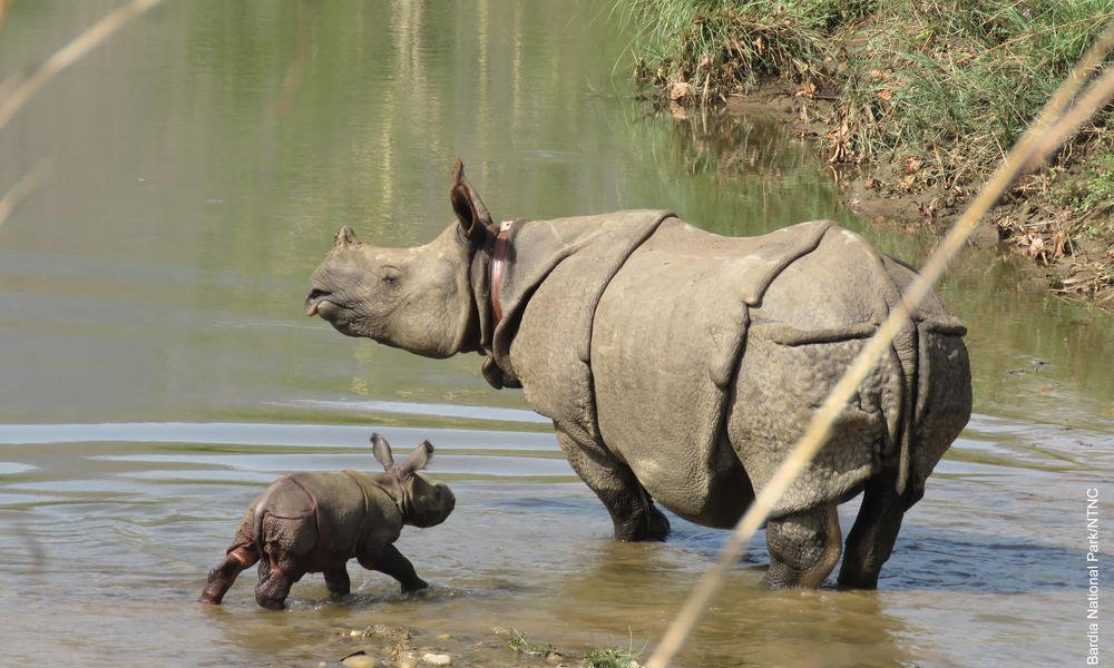 RT @World_Wildlife: Exciting news! We're welcoming the birth of one very special rhino in Nepal! https://t.co/BO3xr1teTk https://t.co/66eFY…