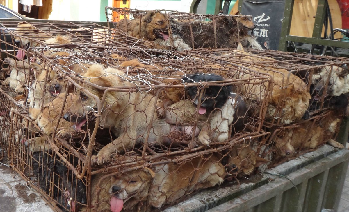 Pets are being stolen for the annual Yulin dog meat festival. Take action to #StopYulin now: https://t.co/7RPrSfnwx6 https://t.co/XtOQEcojVU