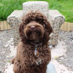 Skip find #upcycle chair is back to life with #ecofriendly pet-safe @FrenchicPaint #cockapoo #solihull #redditch #ff https://t.co/P0bXLawovB