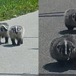 BABY BADGERS! A viewer took these pictures near Milton. #badgers #news3 https://t.co/rmvLyfGN7r