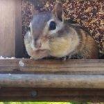 #FridayFeeling: Chipmunk caught full-cheeked after raiding bird feeder https://t.co/r5C6C7prk6 https://t.co/3Mufsl5XU5