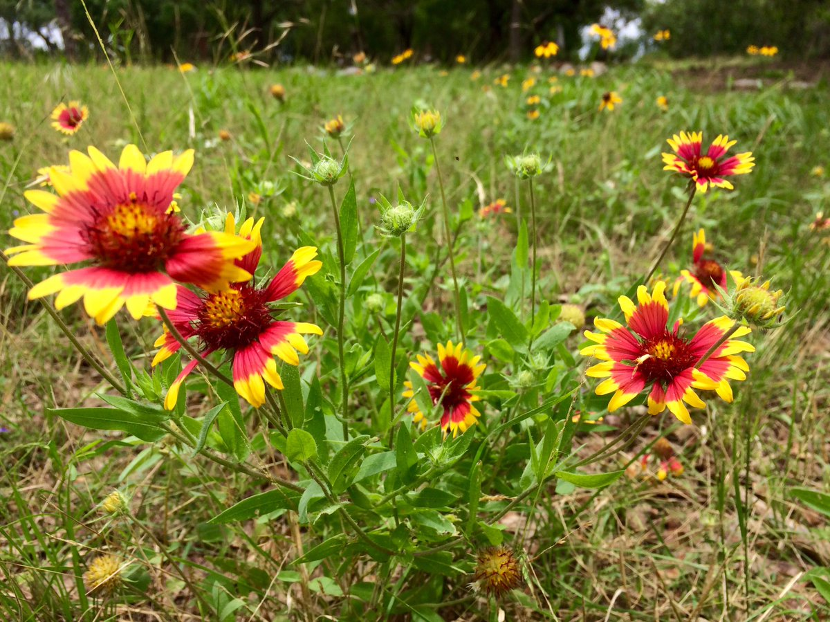 Did you know the #TXST colors were inspired by the colors of the Texas native gaillardia flowers? https://t.co/ndbqP8wlz0
