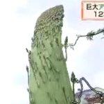 巨大アスパラガスが出現 北海道 芽室町 | NHKニュース   https://t.co/Nn6Fg7GS3u  10本以上のアスパラガスが一体となって1メートル近くの高さまで成長し、地元の人たちを驚かせています https://t.co/kNOdZGJe3G