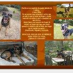 Parchís perro de 6 años en #adopcion en #Madrid 635 03 25 59 https://t.co/xdwdPTWcsO