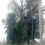 Árbol muerto en pie, Av.Los Ganaderos, Tco. Precaución posible desprendimiento secciones @municipiotemuco @cged_sos https://t.co/ABQoMtT6fV