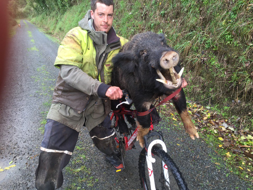A sight to see while cycling the Rimutaka Rail Trail today. Pig hunting cyclist https://t.co/GfVHSB2sj7