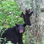 """Bears on the Move"" 10AM Sunday #Ithaca cable ch13 (97.1) + https://t.co/DyAKrRrIAy #walkintheparktv #twithaca https://t.co/ep79pI4RZh"