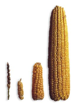 @octavio_medina The thing on the left is wild corn https://t.co/5eCXUoj8l6