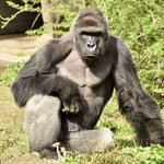 JUST IN: Gorilla Shot Dead at Ohio Zoo After a CHILD Climbs in Enclosure. https://t.co/5oPWa5Bri9 https://t.co/TpM6VYR3Gq