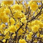 Día del Árbol, Día del Araguaney, nuestra flor de oro!! hoy cumple 68 años de haber sido declarado Árbol Nacional https://t.co/PzLKKZax3V