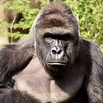 Gorilla shot and killed at Cincinnati Zoo after 4-year-old boy slips into gorilla enclosure https://t.co/poAyjsF9Oo https://t.co/HRKU76tZdV