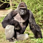 Gorilla Shot and Killed at Cincinnati Zoo After Boy, 4, Slips into Gorilla Enclosure https://t.co/00DFGUW3fp https://t.co/lj3p7OGQX3