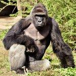 Gorilla Shot and Killed at Cincinnati Zoo After Boy, 4, Slips into Gorilla Enclosure via P… https://t.co/4Ei2osDdz4 https://t.co/WTxRai1Vam