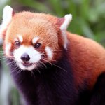 Giant #pandas Ying Ying and Le Le are most popular stars of #HongKong Ocean Park with three red pandas  (Li Peng) https://t.co/2f1K4FeVnG