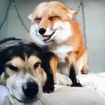 ITS A FOX AND A DOG A FOX AN D A DOG THIS IS THE REAL LIFE FOX AND THE HOUND https://t.co/p5bdADmC3n