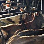 Grasen in der Krise – #Milchgipfel und Anbindehaltung https://t.co/27Rm6Ymm8j #Milch #Kühe https://t.co/3mikPm3Yq1