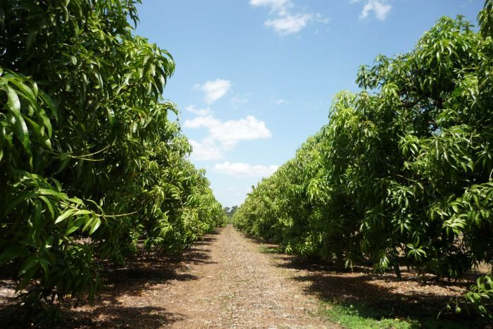 Record hot temperatures around Darwin stopping most #mango trees from flowering  https://t.co/eBNYU0TvXp https://t.co/oHm4hMKEBI