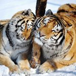 Siberian tiger tracks found in NE #China https://t.co/qHBTpwRZOF https://t.co/2R9dOHYQXO
