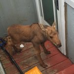 Happening now: Patrol *just* caught his little fella trying to break into an east end home in St Johns! #nlmoose https://t.co/nH7pMFgzuM