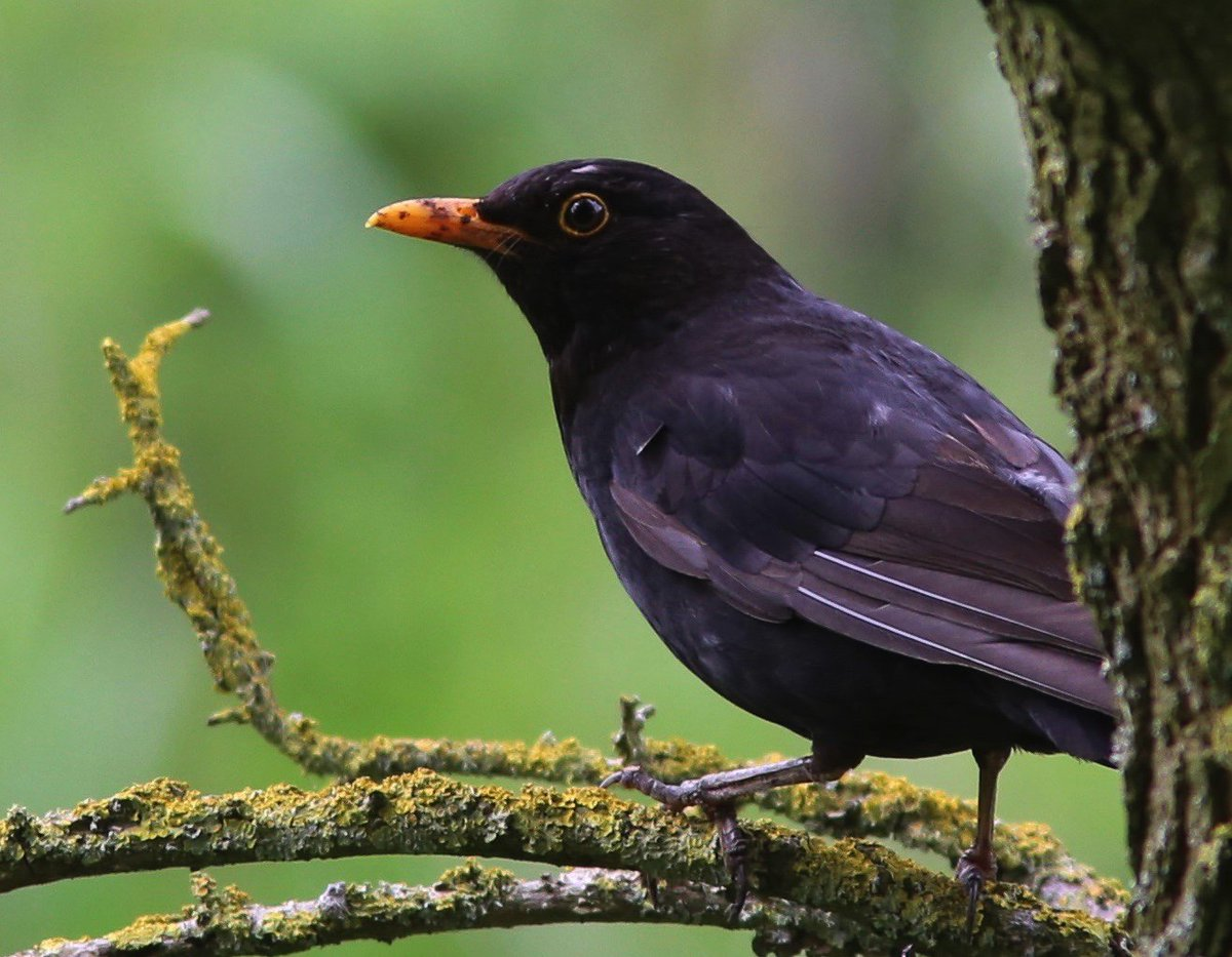 Male Common Blackbird~Turdus merula  RT @bettyjo62: A visiter to our garden keeping an eye on his fledglings #birds https://t.co/dH3xaQbHgj