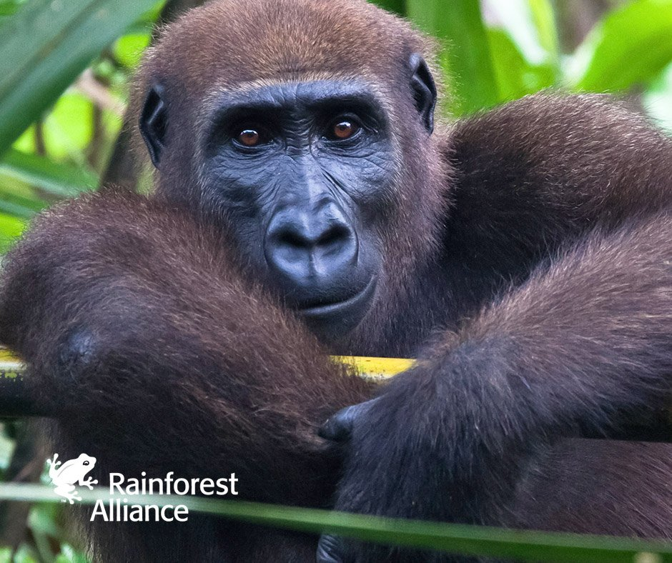RT @RnfrstAlliance: Our work is helping to save #gorillas and other endangered animals worldwide. Learn more: https://t.co/8lquk9ToCU https…