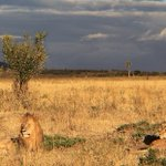 .@IUCN Western, Central & Eastern Africa lion populations declined 60% past 21 years https://t.co/GllcysCAXw #CoP17 https://t.co/fBQ0c18kch