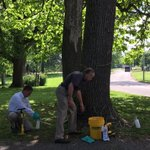 Early detection is important & treatment can successfully save ash trees. Learn more about process on city website. https://t.co/MBJdjQG4tn