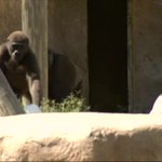 VIDEO: Man who raised 'Harambe' the gorilla devastated by his death https://t.co/Yx1pghOE4I https://t.co/yDwlfLxR94