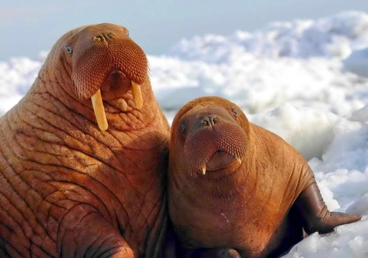 FAA acts to protect walrus habitats on Arctic coastlines in Alaska @USFWS