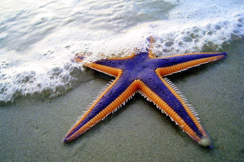 Purple And Orange Starfish | Photography by ©Mark Walz https://t.co/9ZhnAHysp7