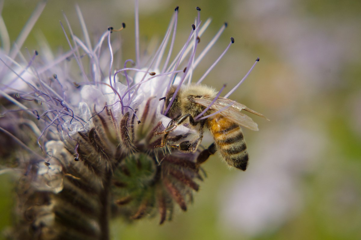 RT @Richmond_BC: The 1,000 ft pollinator pasture in RichmondBC is the bees knees! Celebration this Saturday: https…