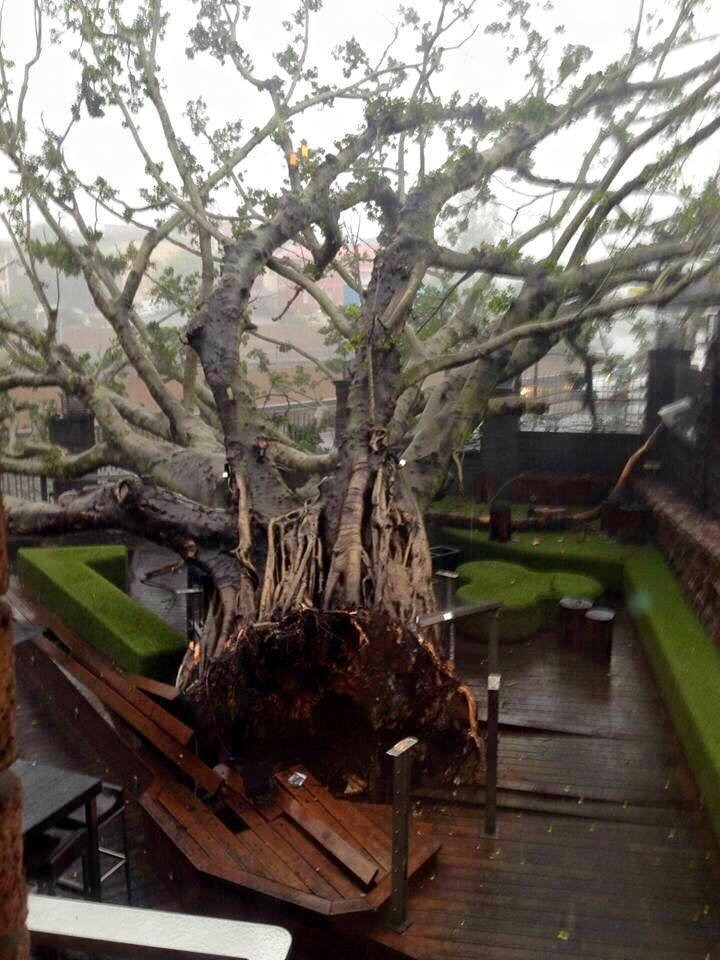 The iconic, 100 year old fig tree at The Normanby Hotel a casualty of #bigwet https://t.co/TOtwWGao9i
