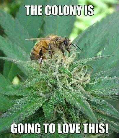 One guy has naturally infused #THC honey by growing #weed near his #bees!  https://t.co/zUE2AWOaaK  #nature https://t.co/pRl0mZUqS6