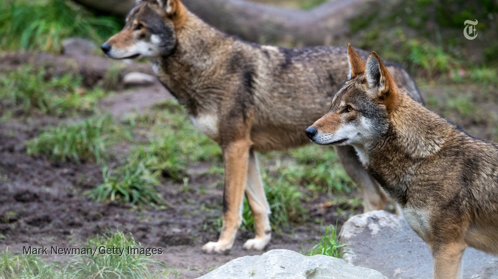 RT @nytimes: There are 45-60 red wolves left in the wild. Hunters shoot them, mistaking them for coyotes. https://t.co/DnLCe9oTHo https://t…
