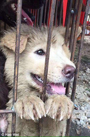 Last chance to sign our #StopYulin petition https://t.co/T6cb471dFR before we take it to China! https://t.co/fD7TRLQ5VE